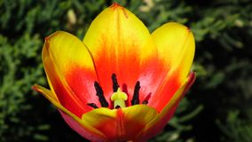 Yellow - red tulip developed Royalty Free Stock Images
