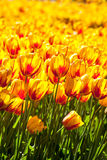 Yellow and red tulip field Stock Images