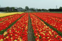 Yellow and red tulip fields, Lisse. Yellow, red tulip fields, Lisse, Netherlands. Nice Background. The beauty of the world royalty free stock images