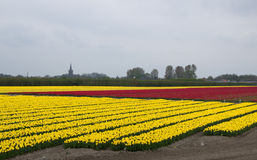 Yellow and red tulip fields in North Holland Royalty Free Stock Image