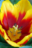 Yellow Red Tulip Flower Royalty Free Stock Image