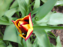 Yellow red tulip Stock Photo