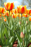 Yellow-red tulip flowers. Royalty Free Stock Images