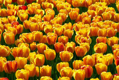 Yellow-red tulip flowers field. Yellow-red tulip flowers spring field stock image