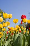 Yellow and red tulip flowers in park. Yellow and red tulip flowers in sunny park stock photography