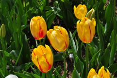 Yellow Red tulip Royalty Free Stock Image