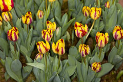 Yellow and Red Tulip Garden Royalty Free Stock Photography