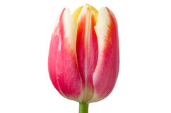 Yellow and red tulip Stock Photo
