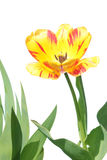 Yellow and red tulip isolated on white Stock Photography
