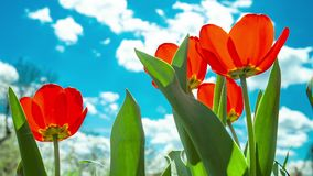 Yellow and red tulip. Yellow tulip rising above field of colorful tulips stock video footage