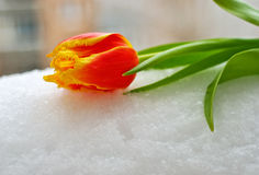 Yellow-red tulip on the snow Stock Images
