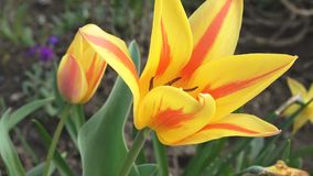 Yellow Red tulip. In the spring wind stock video footage