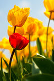 Yellow and red tulip. Yellow tulips with one red tulip Royalty Free Stock Photography