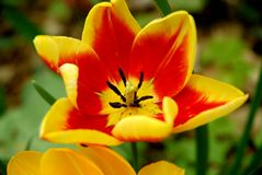 Yellow and red tulip Stock Images