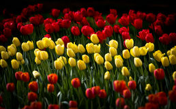 Yellow and Red Tulipas  Stock Photography