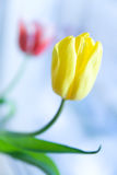 Yellow and red tulips. Vertical photo of yellow and red tulips in daylight Stock Photography