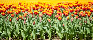 Yellow with red tulips Stock Photo