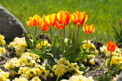 Yellow red tulips Stock Photos