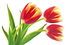 Yellow-red tulips Stock Image