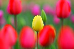 Yellow and red tulips Royalty Free Stock Photo