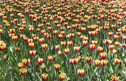 Yellow with red tulips Stock Images
