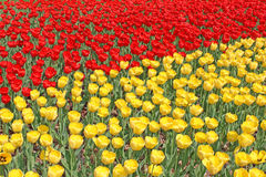 Yellow and red tulips. Many of bright yellow and red tulips on a sunny spring day Stock Images