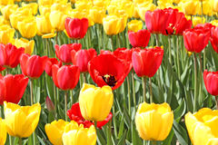 Yellow and red tulips. Many of bright yellow and red tulips on a sunny spring day Royalty Free Stock Image