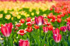 Yellow-red tulips Stock Photos
