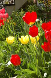 Yellow and Red Tulips. A group of red and yellow tulips in a garden Royalty Free Stock Image