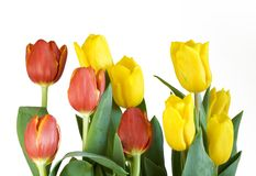 Yellow and Red Tulips Stock Photos