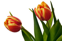 Yellow and red tulips. Isolated on a white background stock images