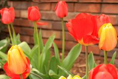 Yellow and red tulips against a brick wall in some landscapeing. Horizontal photo of landscaping a orange and yellow tulip blossom with some other red and yellow royalty free stock image