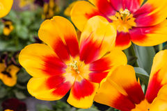 Yellow and red tulips in bloom Stock Photo