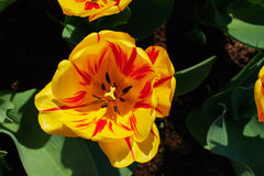 Yellow-red tulips. Blooming beautifully big ring sunny spring day Royalty Free Stock Photos