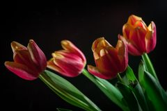 Red tulips bouquet on black baclground. Yellow red tulips bouquet on black baclground Stock Photo