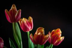 Red tulips bouquet on black baclground. Yellow red tulips bouquet on black baclground Stock Images
