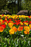 Yellow and red tulips. Bright purple tulips colours growing in a group Stock Photo