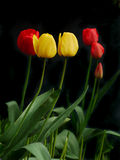 Yellow and red tulips Royalty Free Stock Image