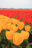 Yellow and red tulips on a field Royalty Free Stock Image