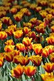Yellow and Red tulips. Royalty Free Stock Photos