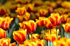 Yellow and Red tulips. Stock Photos