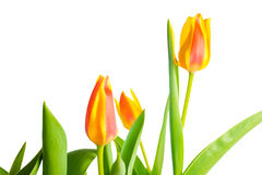Yellow and red Tulips flower is isolated on white. Background Stock Photography