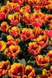 Yellow Red Tulips Flower. Tulip Garden in spring stock photos