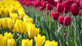 Yellow and red tulips on the flowerbed stock footage