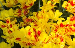 Yellow and Red Tulips. In Garden royalty free stock image