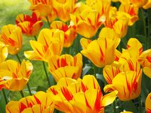 Yellow and Red Tulips. Garden of Yellow and Red Tulips stock photography