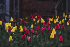 Yellow and red tulips in garden Royalty Free Stock Photo