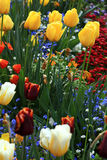 Yellow and red tulips in garden Royalty Free Stock Photos