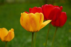 Yellow and red tulips on green background closeup Stock Images