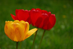 Yellow and red tulips on green background closeup Stock Photography